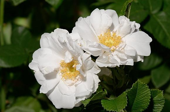 White Roadrunner rose сорт розы фото