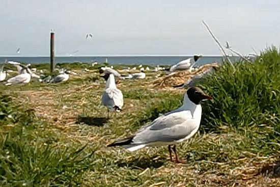 Black-headed Gulls in breeding plumage