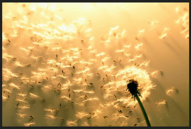 Picture of Dandelion's Seeds Being Released Into The Wind.