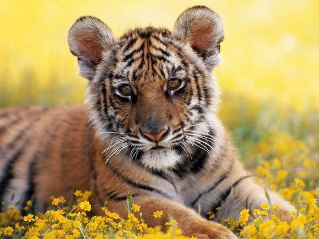 Cachorros de tigres