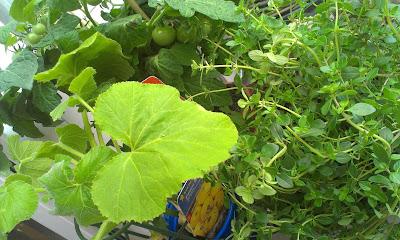 v.l.n.r. Patisson-Zucchini, Mini-Balkontomate, Zitronenthymian
