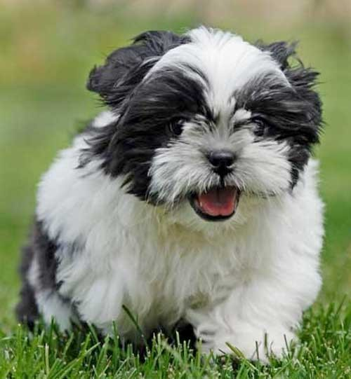 How fast can a Shih Tzu run?