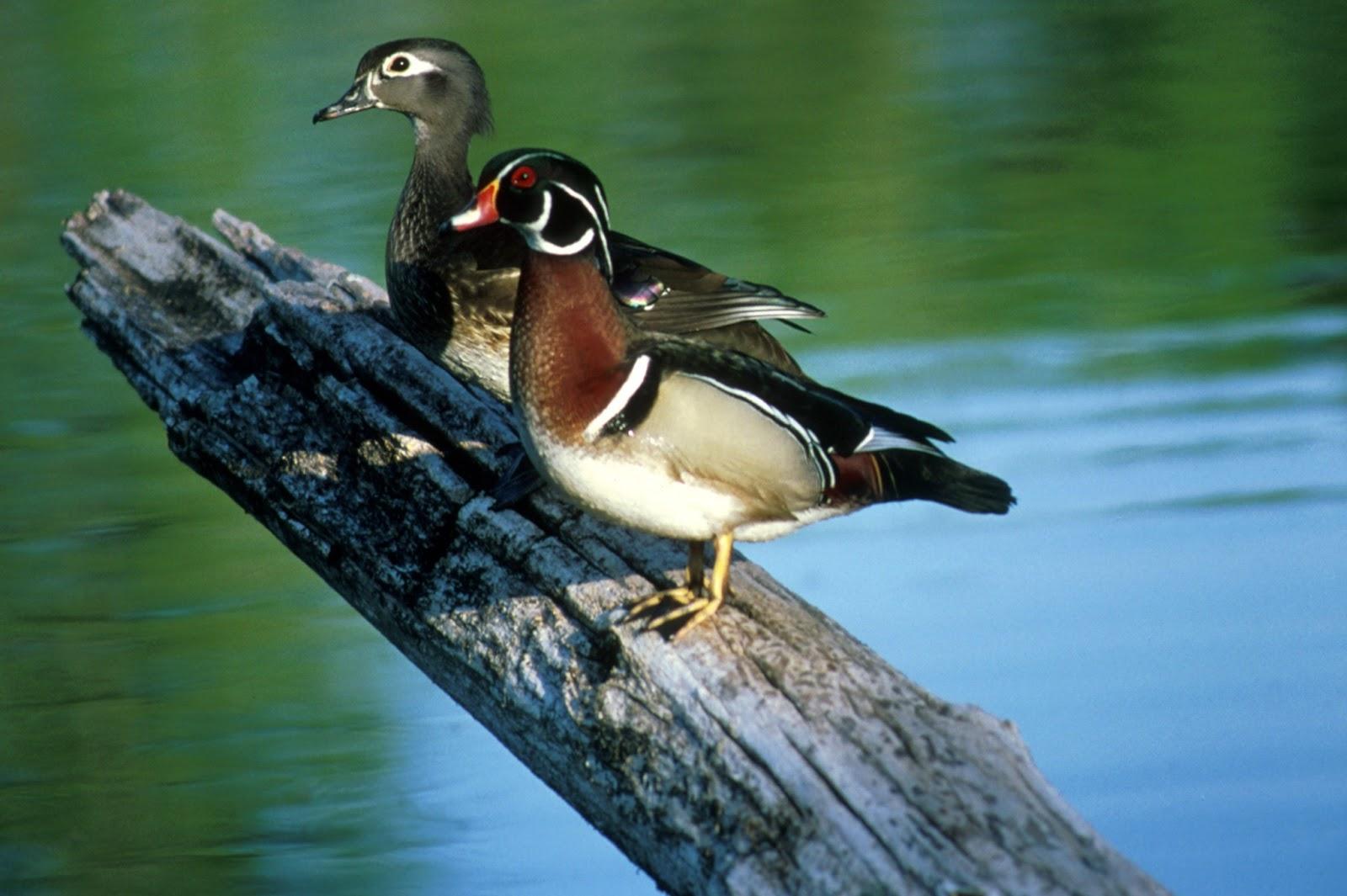 Wood Duck Hunting Wallpaper