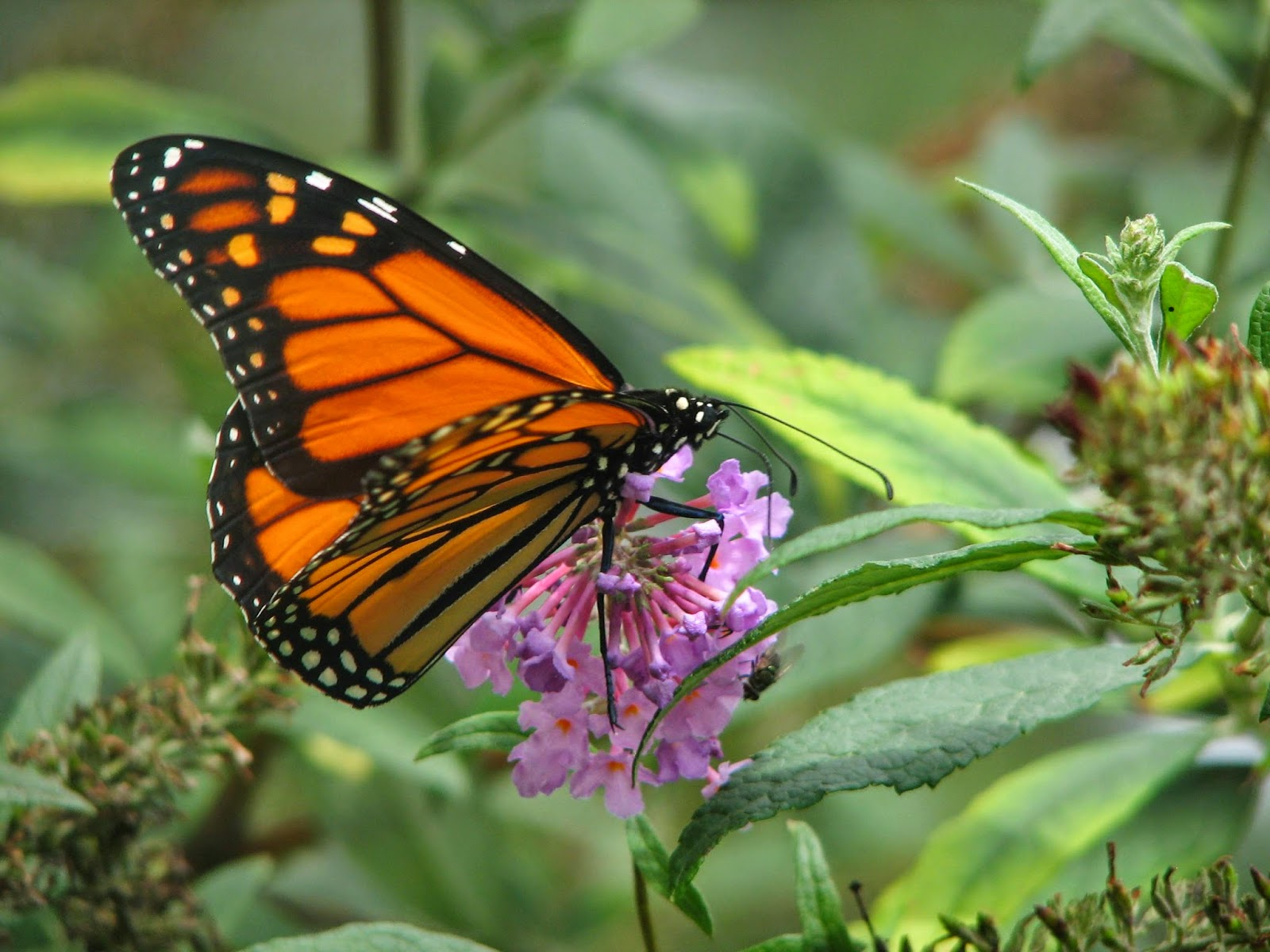 Monarch Butterfly populations are declining because of the use of herbicides.