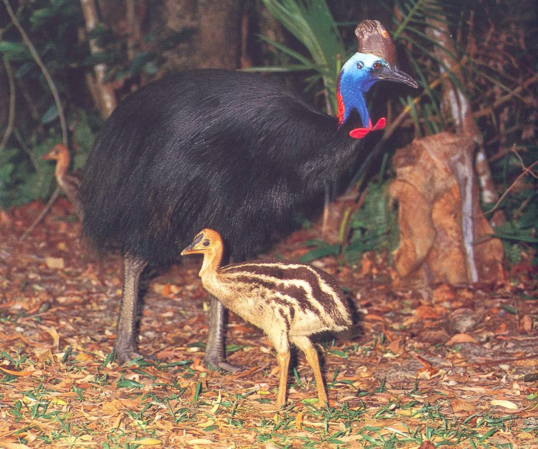 Qual é o nome da ave mais brava do mundo?
