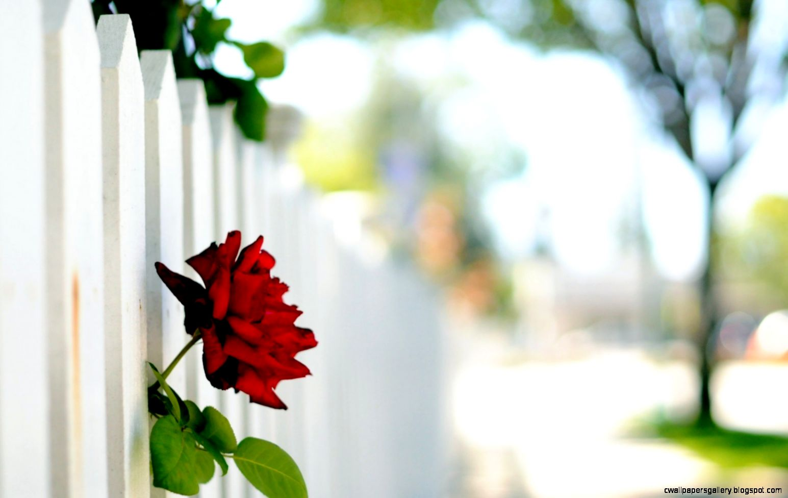 Flower Red Rose Fence White Bokeh   HD wallpapers