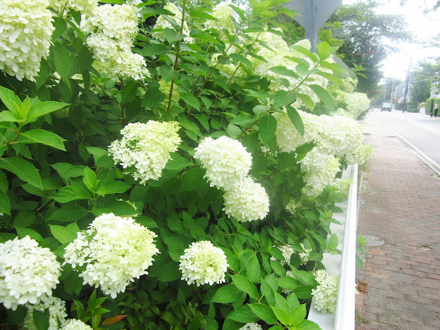 white hydrangeas lining a brick walkway