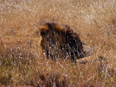 Lion in Serengeti Tanzania Africa by JoseeMM