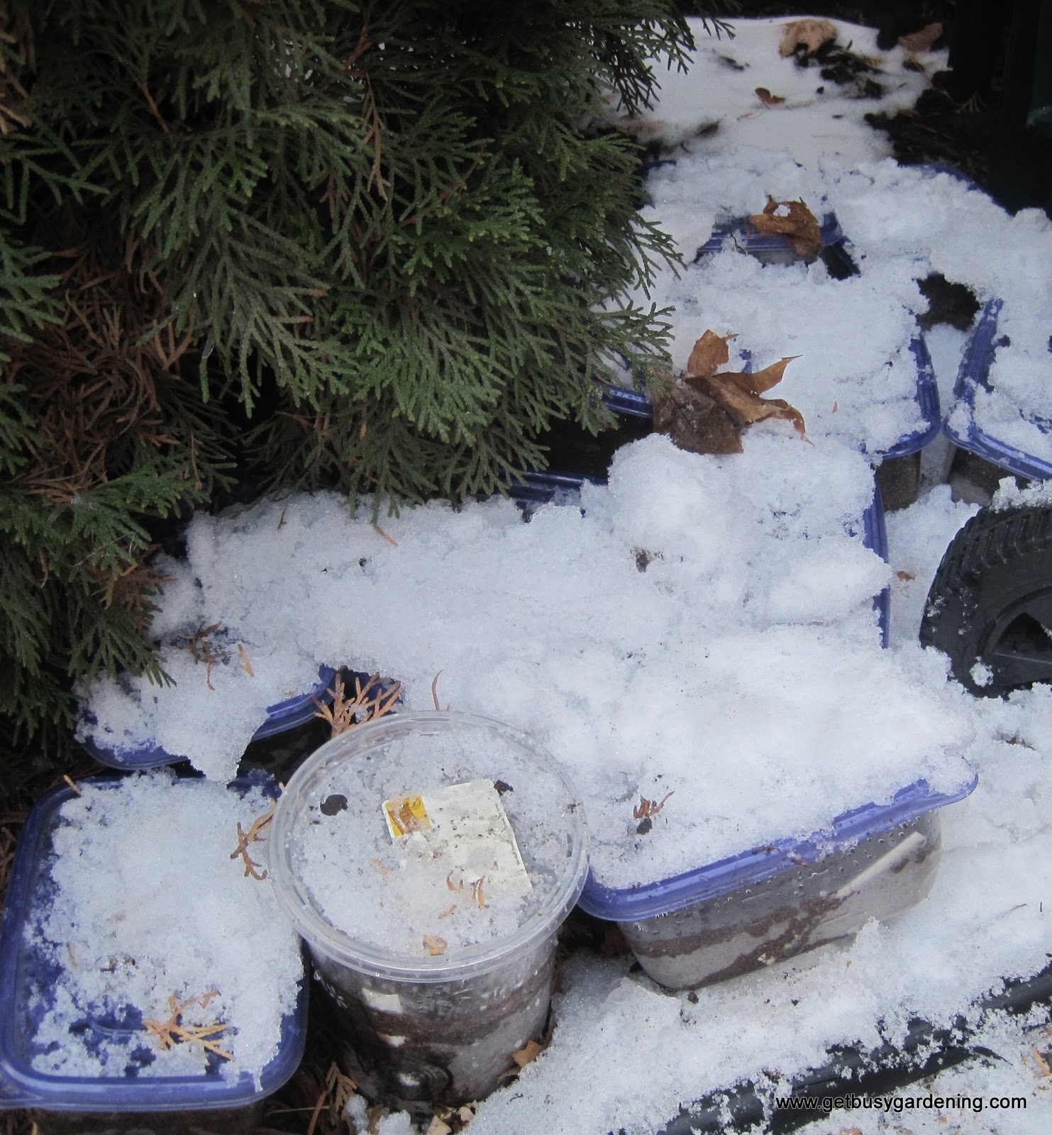 Winter sown containers buried under snow