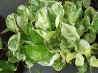marble money plant pothos