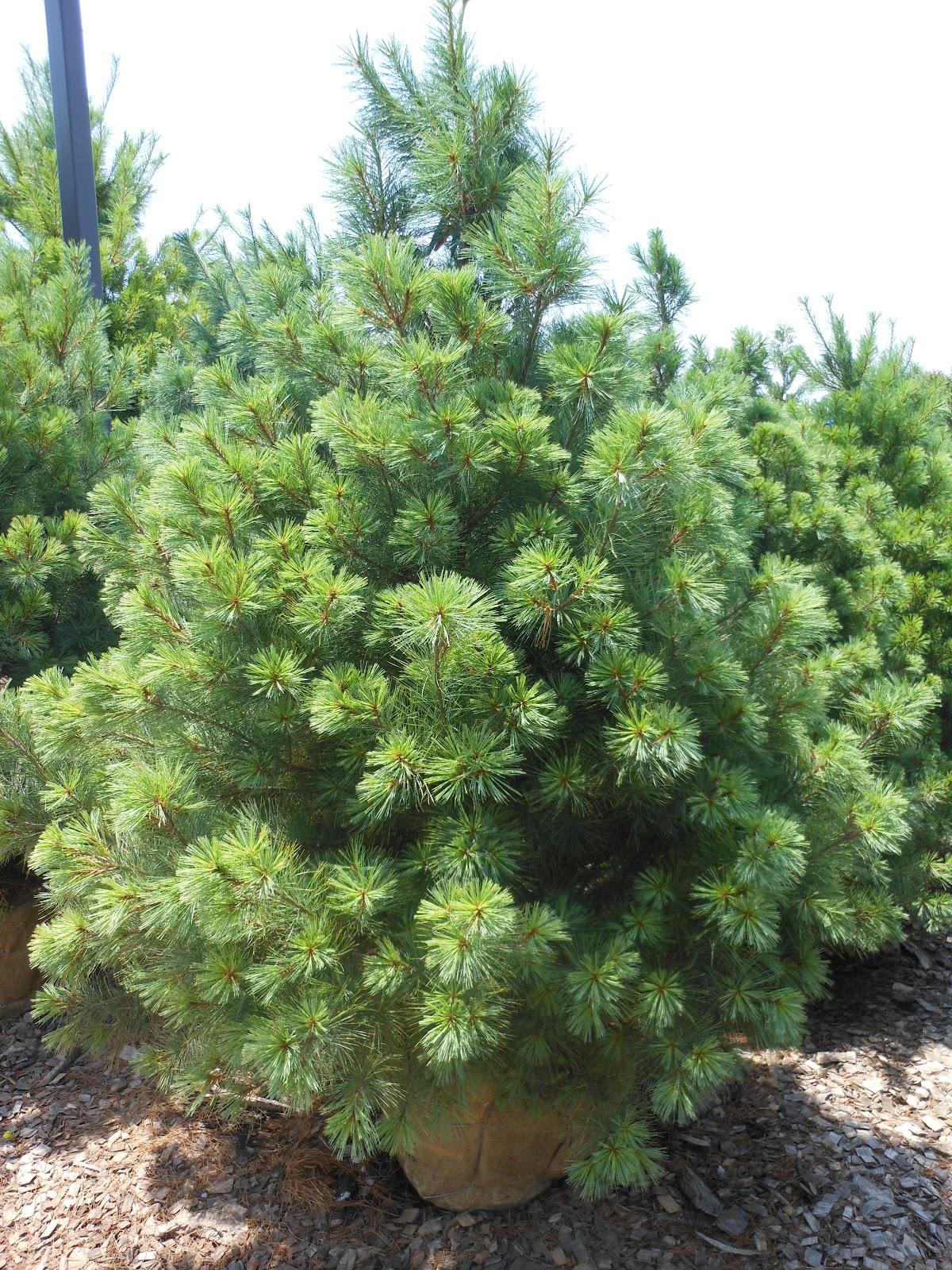 The british gardener tropical years white pines and
