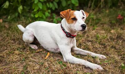 Jack Russell Terrier, Puarson Russell Terrier, czy jest dla mnie, jaką rasę wybrać, pies dla rodziny z dzieckiem, jak wybrać psa, opis rasy, cechy charakteru, nadmierna szczekliwość, problem z, skakanie na gości