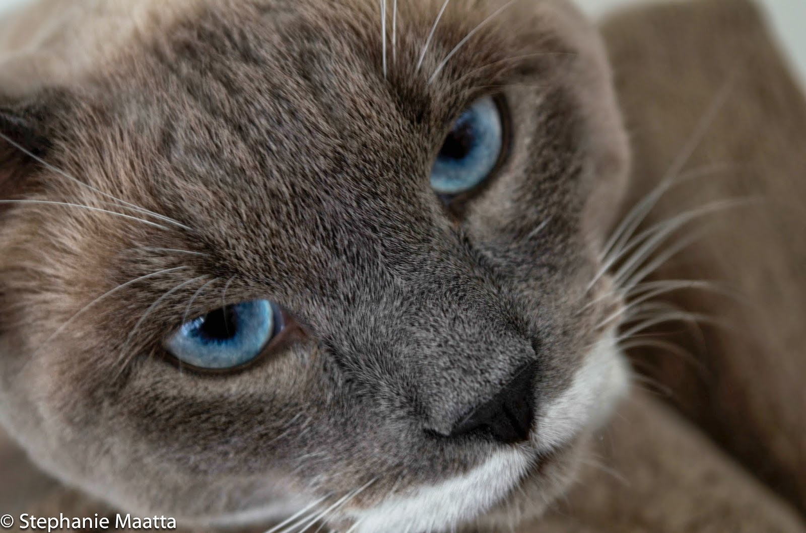 image of Siamese cat with blue eyes