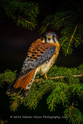 birds of prey, bird photography, American Kestrel, Falco sparverius