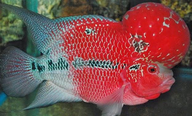 ikan lohan termahal