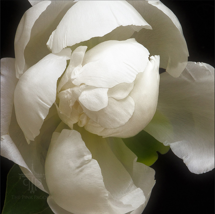 Beautiful White Peony by Photographer Sarah Hollander