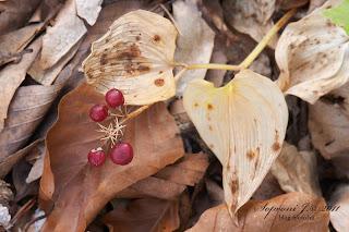 Árnyékvirág (Maianthemum bifolium)