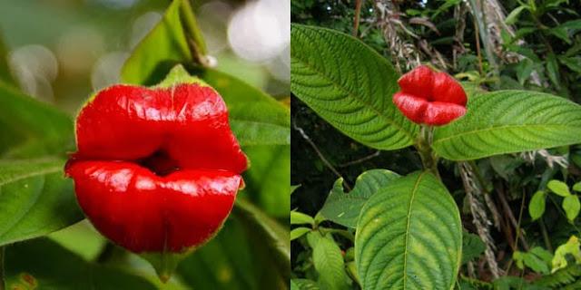 Bunga Ciuman