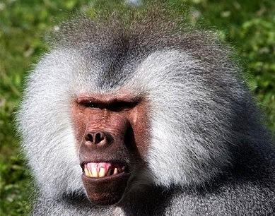 Funny Baboons | Funny Animals