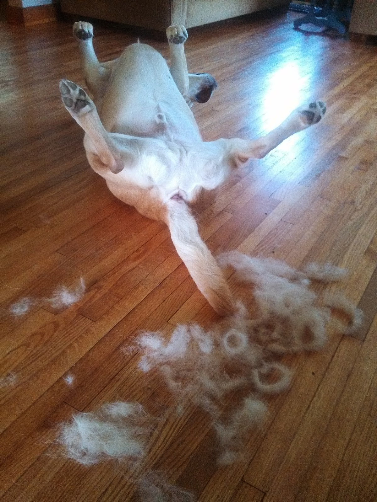 Tony the yellow lab gets brushed with his furminator