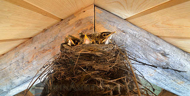 Robin chicks in their nest (c) John Ashley