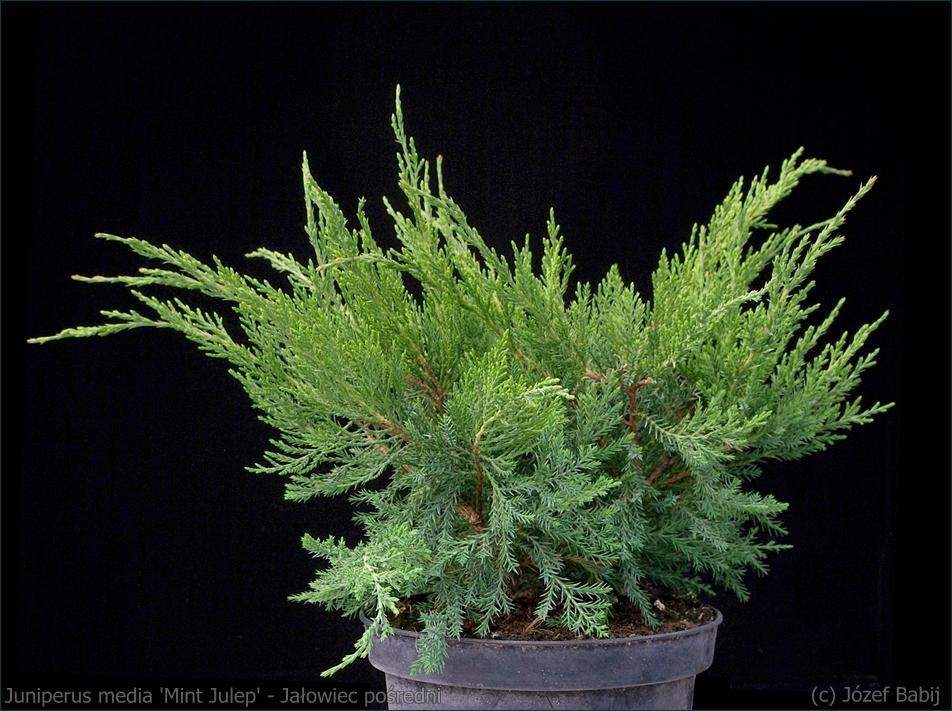 Juniperus media 'Mint Julep' - Jałowiec pośredni 'Mint Julep' pokrój