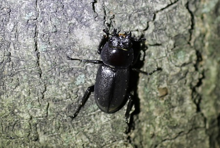 Stag beetle (female)