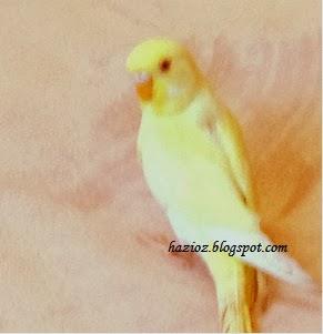 limon, muhabbet kuşu