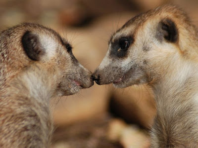 meerkat kiss pictures animals