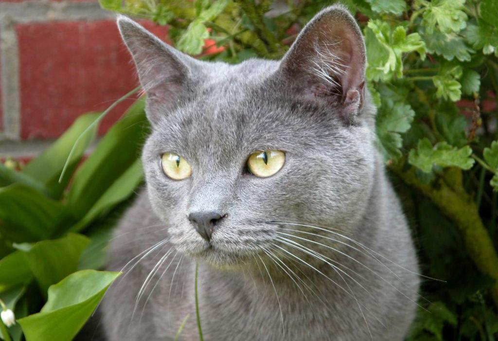 chartreux bleu russe