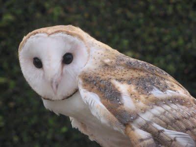 O Canto do Lobo Barn+Owl1