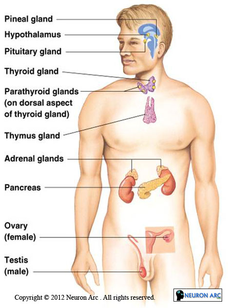Location of Major Endocrine Glands