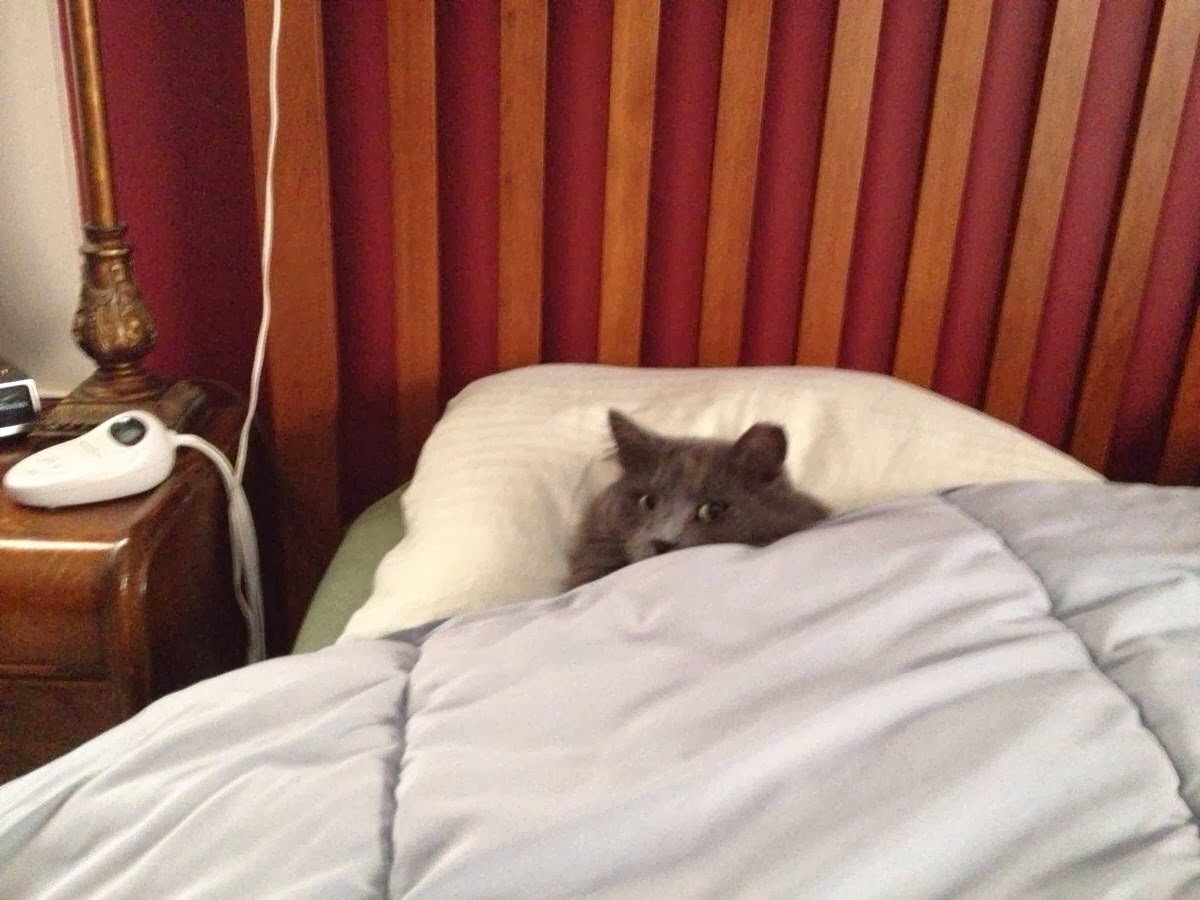 Funny cats - part 92 (40 pics + 10 gifs), cat sleeping in bed