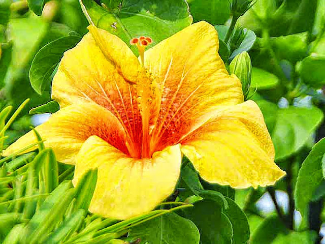 yellow and orange, hibiscus, flower