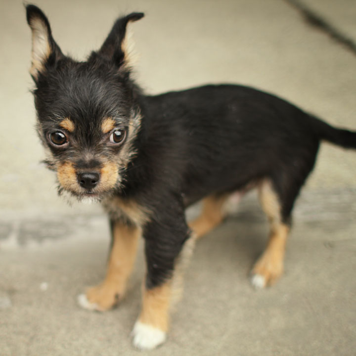 Chihuahua Rottweiler Mix Mix the buyer returned him to