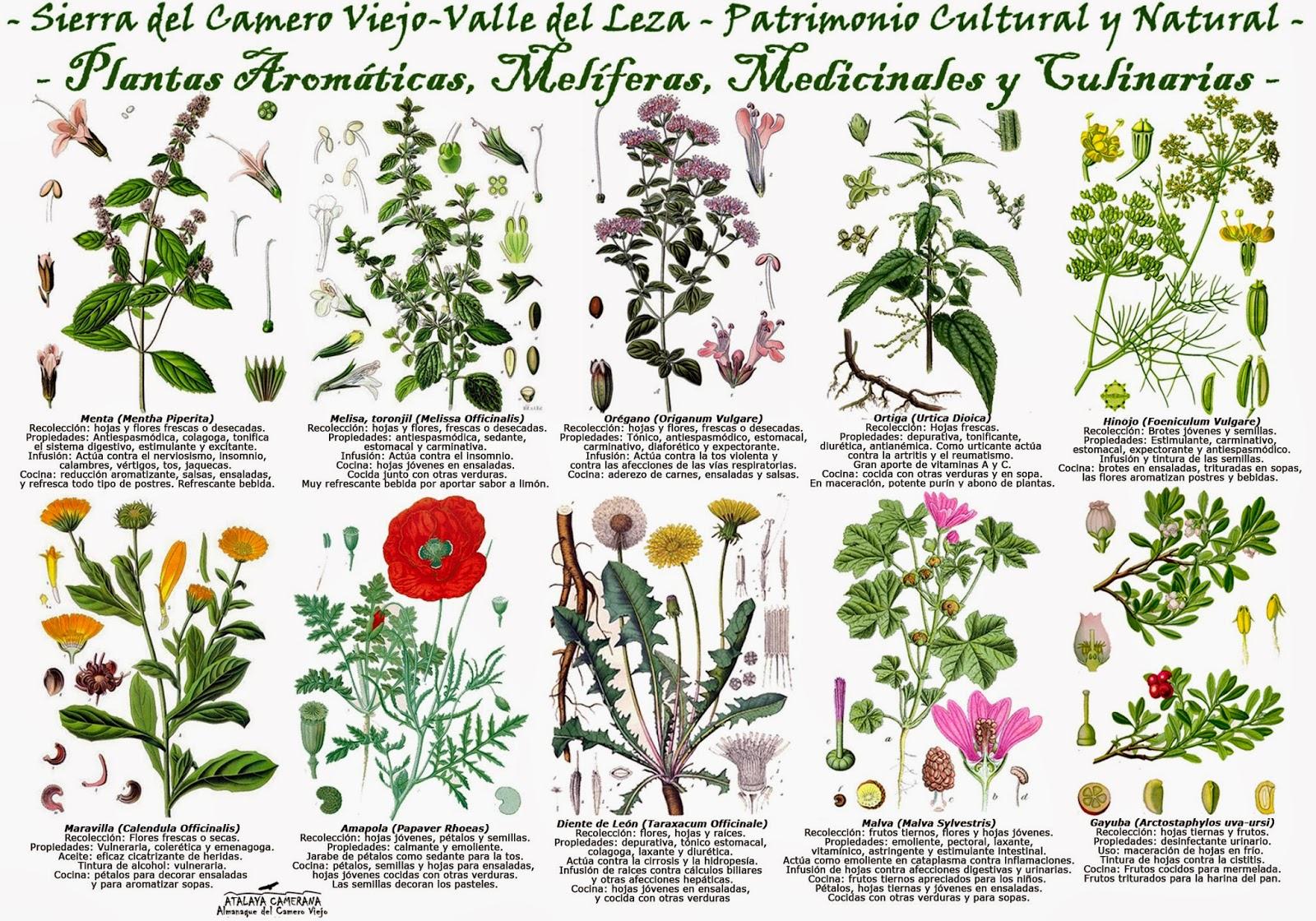 Atalaya camerana almanaque del camero viejo plantas - Plantas aromaticas mediterraneas ...