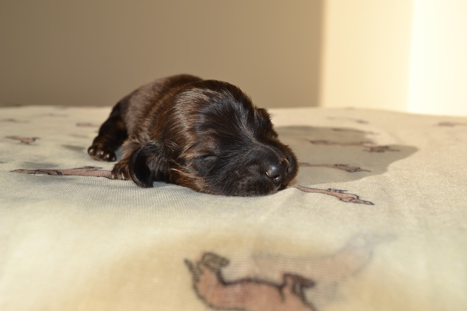 Long Haired Miniature Dachshund Puppy
