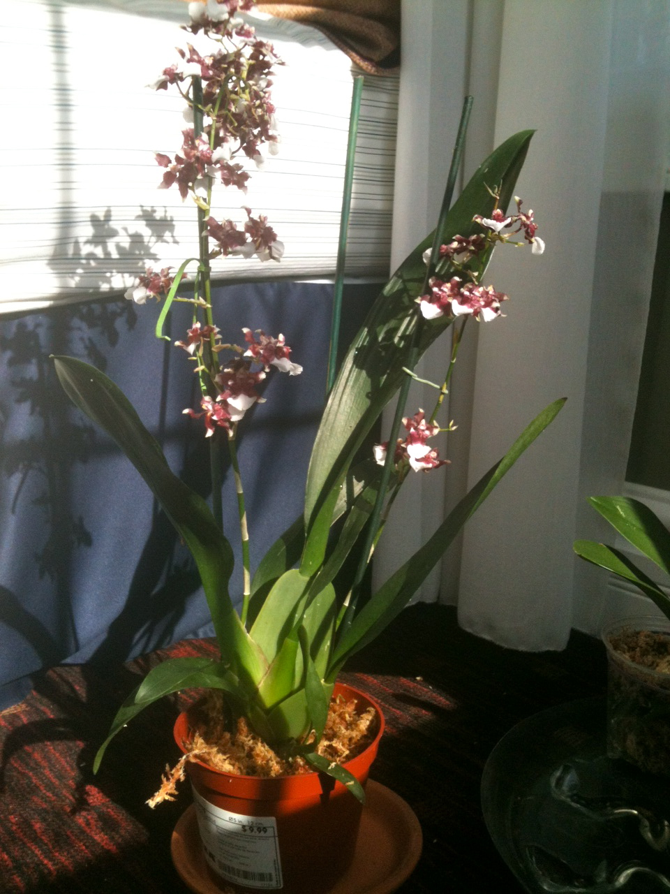 Aleks Has Orchids Temporary Repotting Of Onc Heaven
