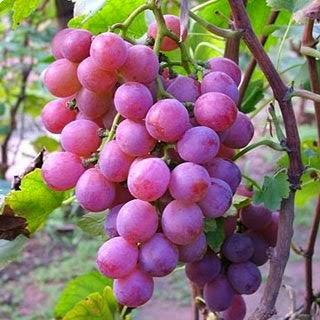 Senyawa di Kulit Anggur