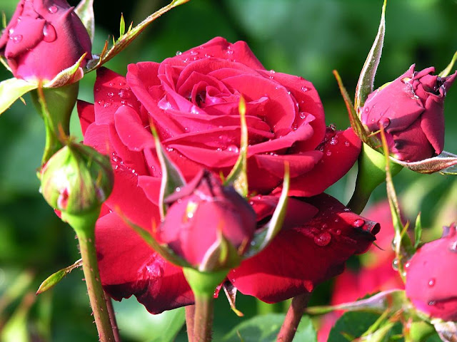 red rose lal gulab