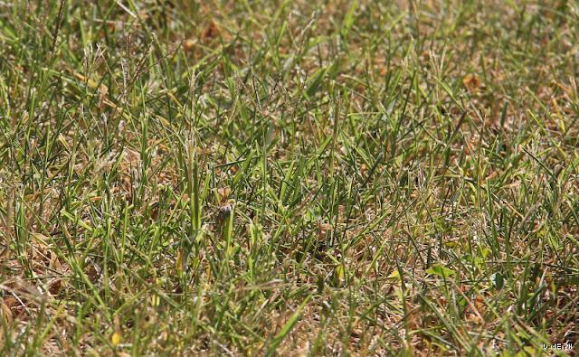 Herbe séchée par la sécheresse