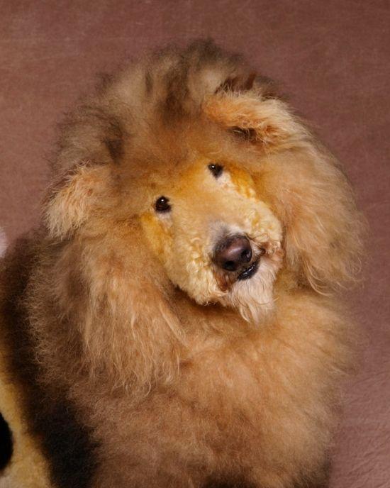 Ren Netherland fotografia animais estimação cães cachorros extreme pets fantasia Leão