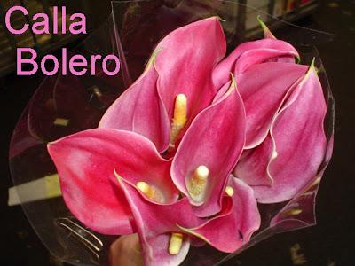 Calla Bolero new