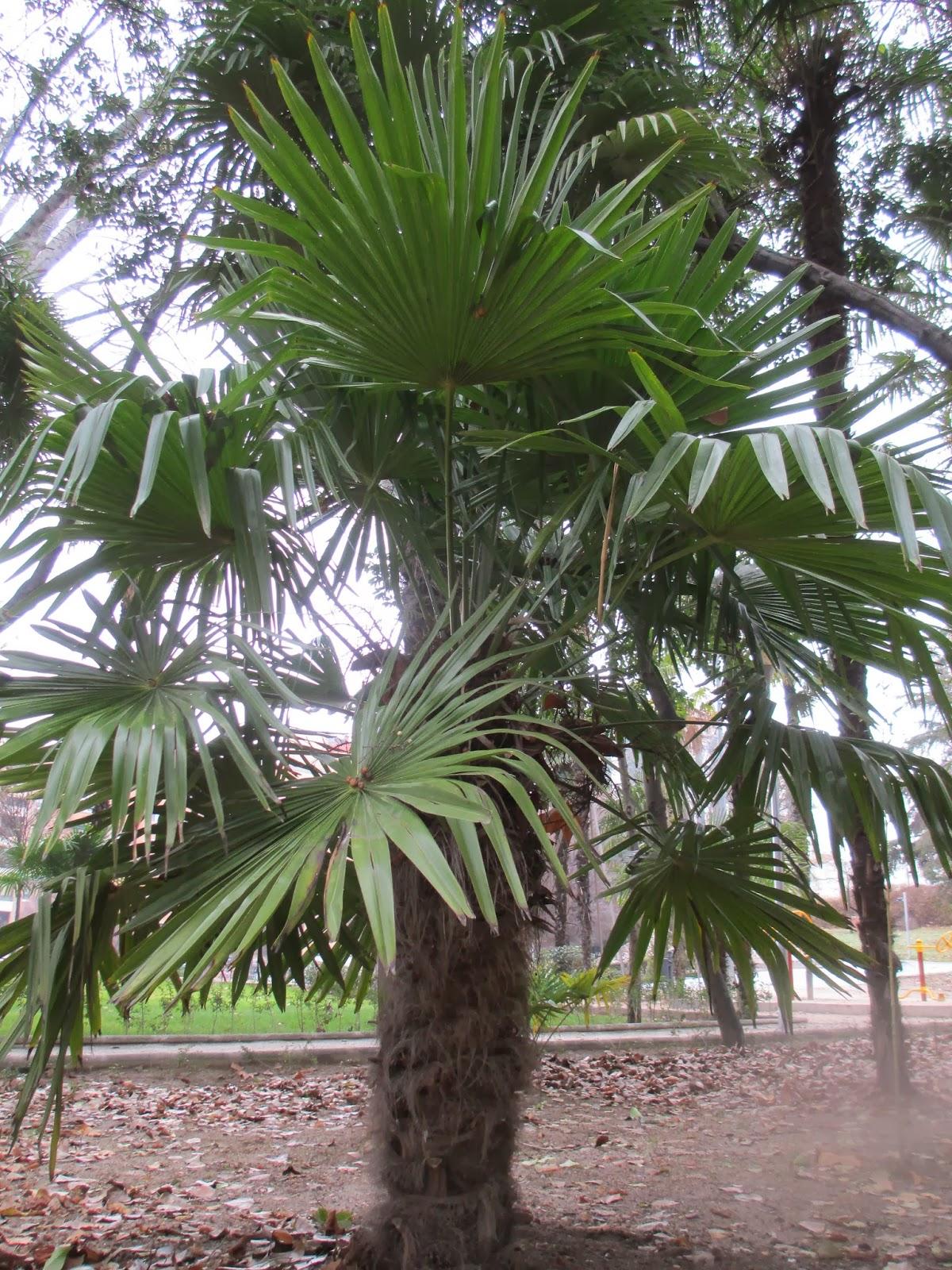 La mar de verde bismarckia nobilis o palmera de bismark for Palmeras de exterior
