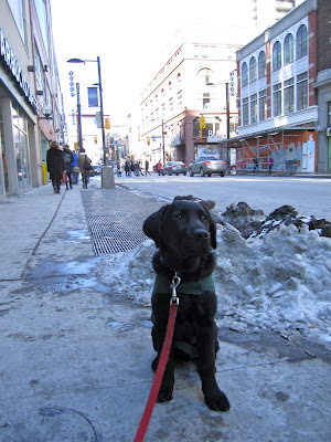 Black lab puppy Romero is in a sit position on a sidewalk in busy downtown Toronto on a cool winter day. He is wearing his green future dog guide jacket and a blue collar which is attached to a red nylon leash stretching out in front of him. Immediately behind him is a pile of dirty melting snow and a subway grate. In the background is an traffic intersection where various pedestrians and cars are crossing. The Canon theatre where Romero saw the musical Billy Elliot is just a bit past that intersection.