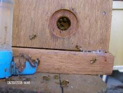 abelhas borá sendo tratadas,pós divisão