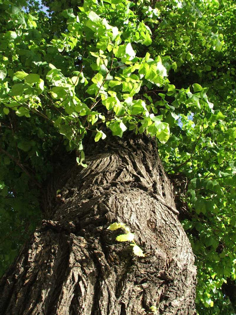 very large very old elm tree in close up