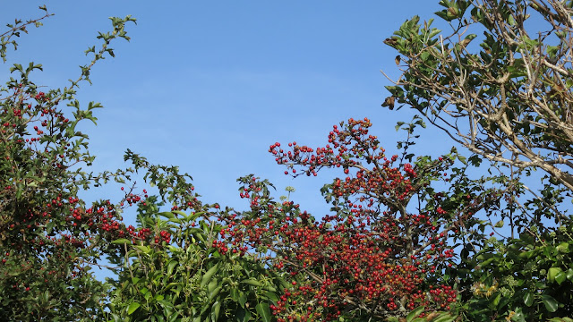 Tree tops showing bright red haws (hawthorn berries) and ivy against a blue sky.