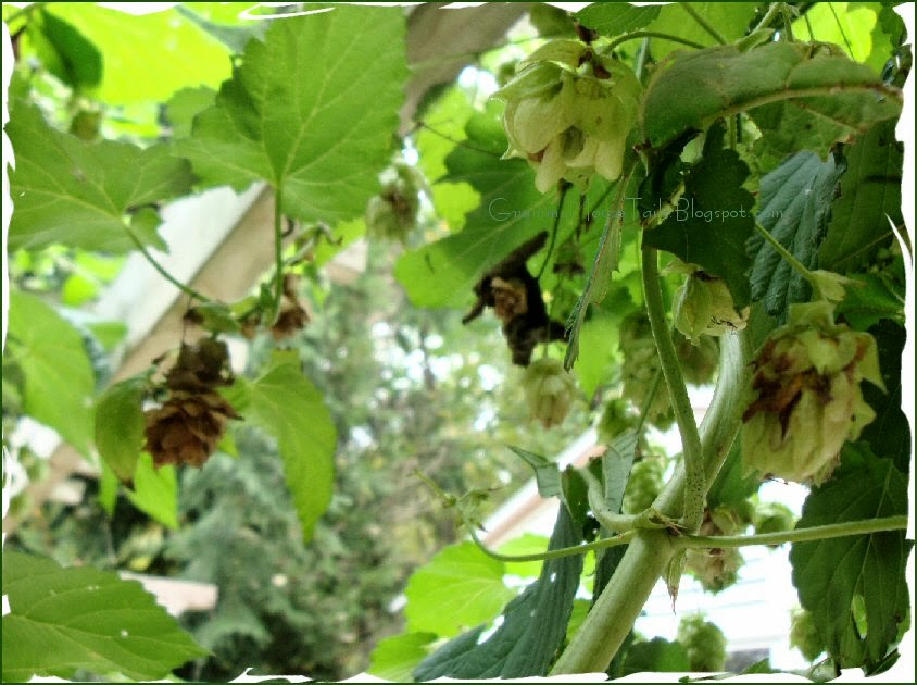 hops heads green - ripe and drying - sign of autumn - hops - photo
