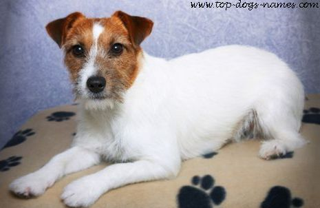 jack russell terriers puppies jack russell terriers puppies jack ...